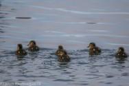 Ducklings_7