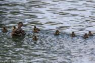 Ducklings_9