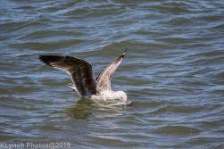 Gulls_1