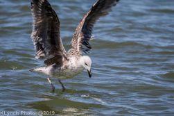 Gulls_13