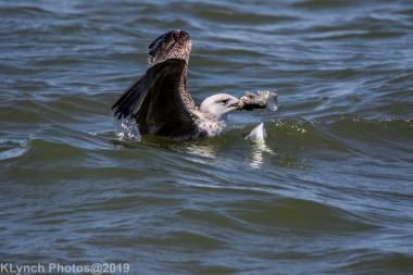 Gulls_20