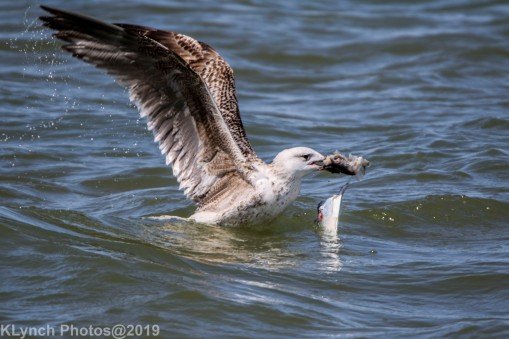 Gulls_22