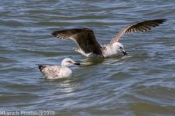 Gulls_23