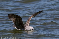 Gulls_24