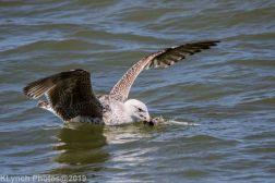 Gulls_26