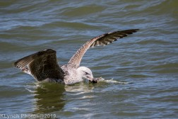 Gulls_27