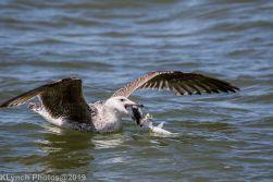 Gulls_29
