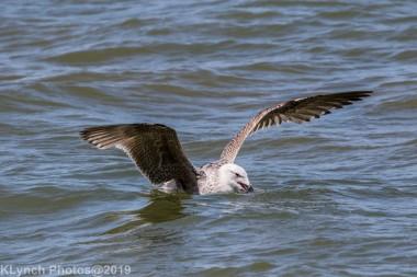 Gulls_31