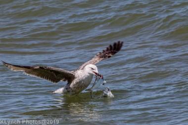 Gulls_32