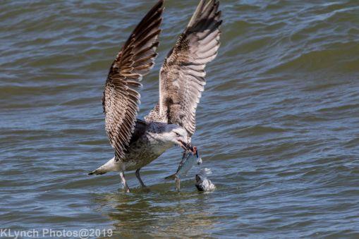 Gulls_33