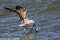 Gulls_34