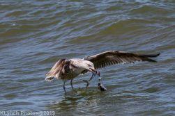 Gulls_35