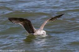 Gulls_37