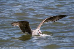 Gulls_38