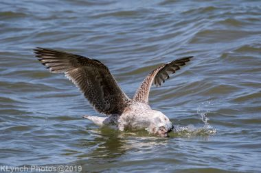 Gulls_39