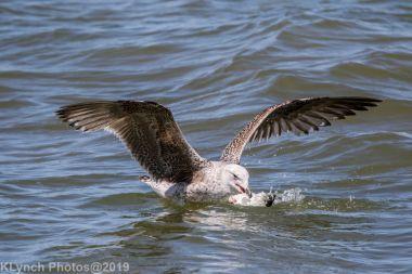 Gulls_40