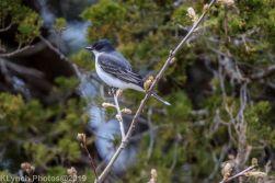 Kingbird_1