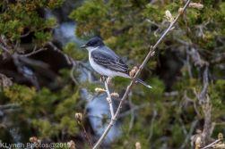 Kingbird_2