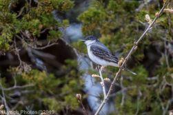 Kingbird_4