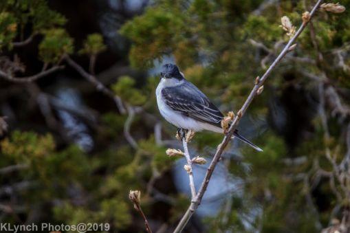 Kingbird_5