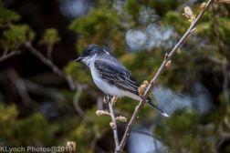 Kingbird_7