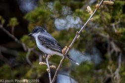 Kingbird_8