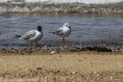 laughing gulls_1
