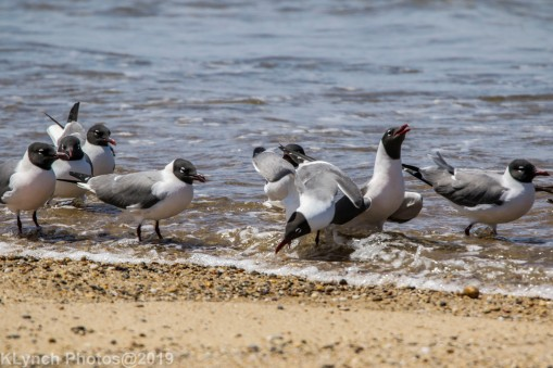laughing gulls_11