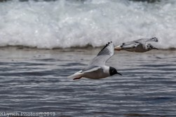 laughing gulls_12