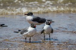 laughing gulls_16