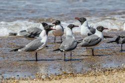 laughing gulls_17