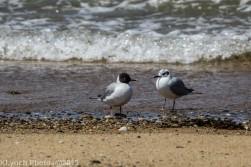 laughing gulls_2