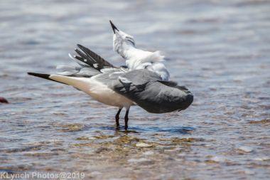 laughing gulls_20