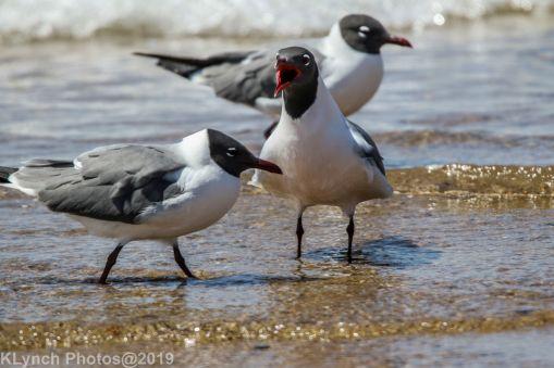 laughing gulls_22
