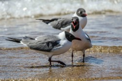 laughing gulls_23