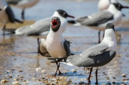 laughing gulls_24