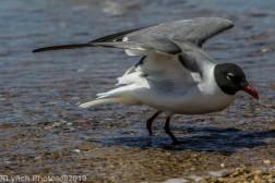 laughing gulls_25