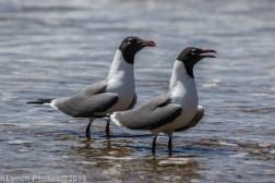 laughing gulls_27