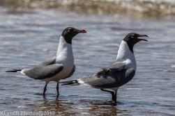 laughing gulls_28