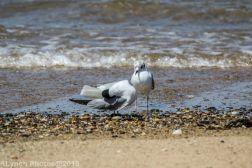 laughing gulls_3
