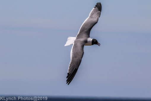 laughing gulls_30