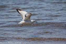 laughing gulls_4