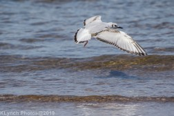 laughing gulls_5