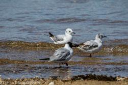 laughing gulls_6