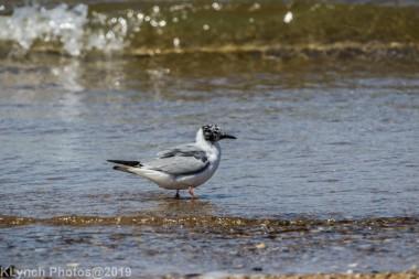 laughing gulls_9