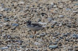 Plovers_1