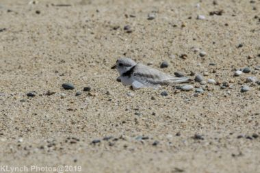 Plovers_10