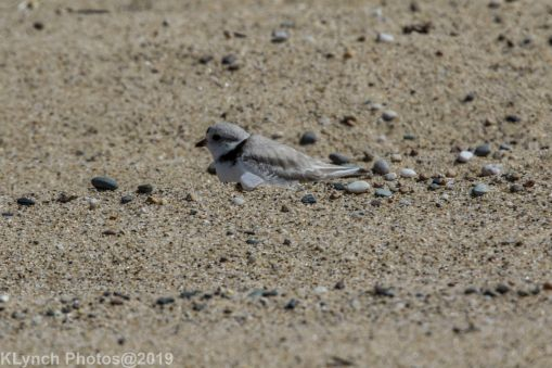 Plovers_11