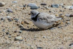 Plovers_12