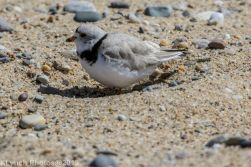 Plovers_13